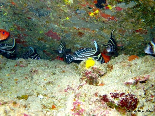 Drumfish ©Melinda Riger @ Grand Bahama Scuba