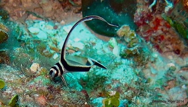 Drumfish (juv) 2 ©Melinda Riger @ Grand Bahama Scuba
