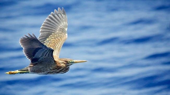 Green Heron Abaco BMMRO