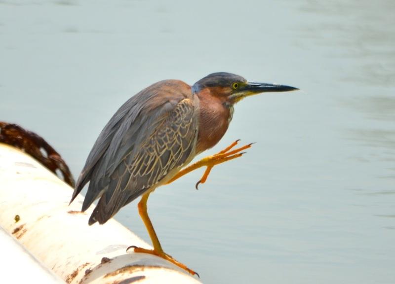 Green Heron, Abaco Charlie Skinner
