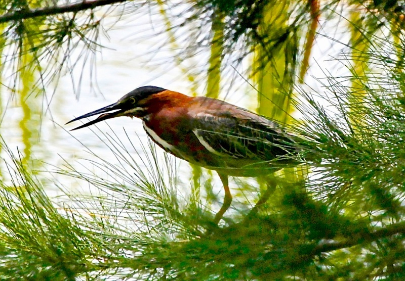 Green Heron, Abaco Peter Mantle