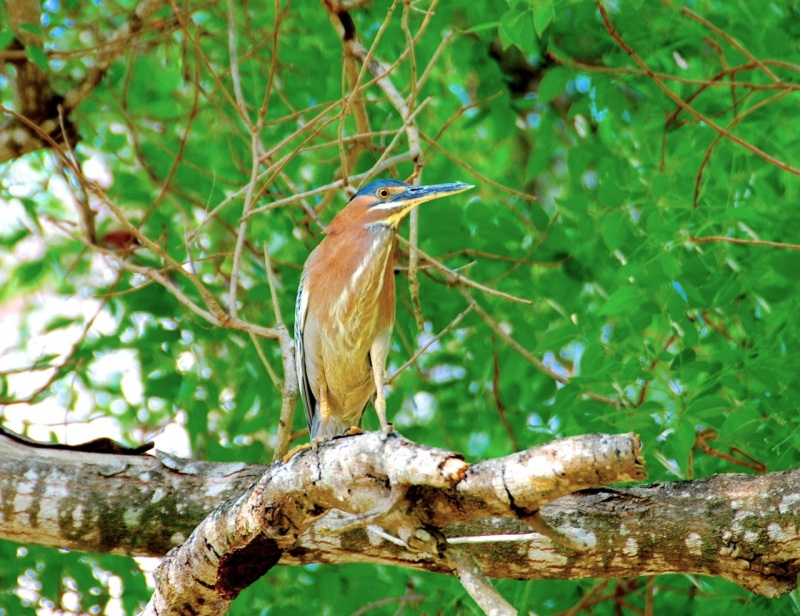 Green Heron, Abaco Rick Lowe