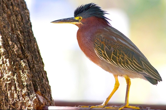 Green Heron Abaco Tom Reed