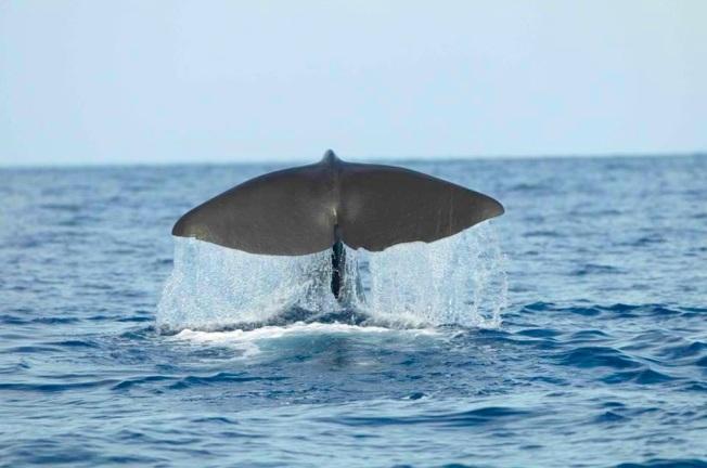 Sperm Whale Tailing, Abaco, Bahamas (BMMRO)