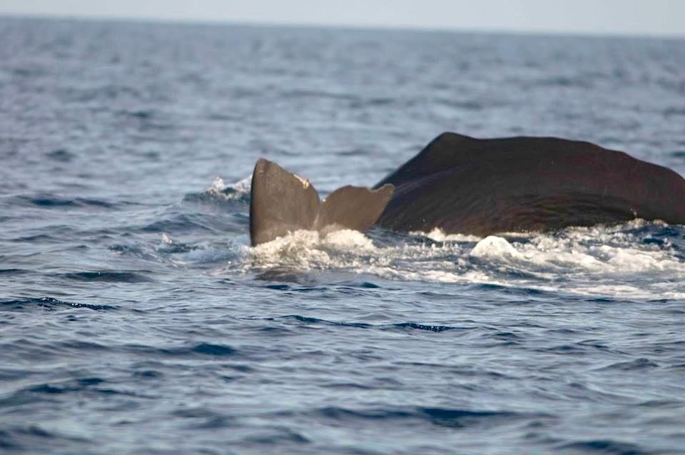 Sperm Whale, Abaco, Bahamas (BMMRO)