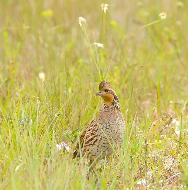 Northern Bobwhite female 2.Abaco Bahamas.6.13.Tom Sheley