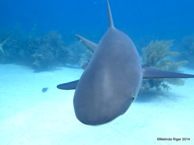 Nurse Shark ©Melinda Riger @ G B Scuba copy