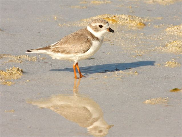 Piping Plover (non-breeding), Abaco (Bruce Hallett)