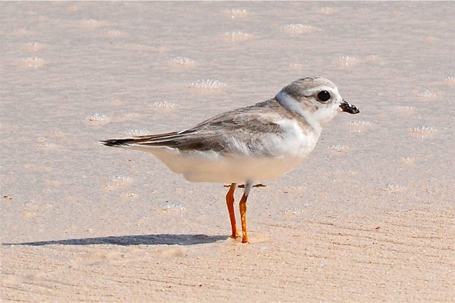 Piping Plover, Abaco - Tony Hepburn