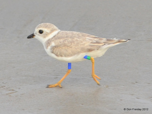 PIPLfledge_banded_Meb_DF