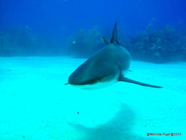 Shark ©Melinda Riger @ GB Scuba