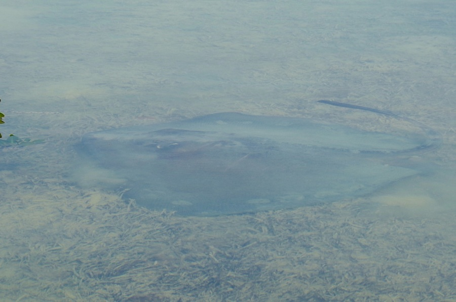 Southern Stingray, Abaco Marls (Keith Salvesen 2)