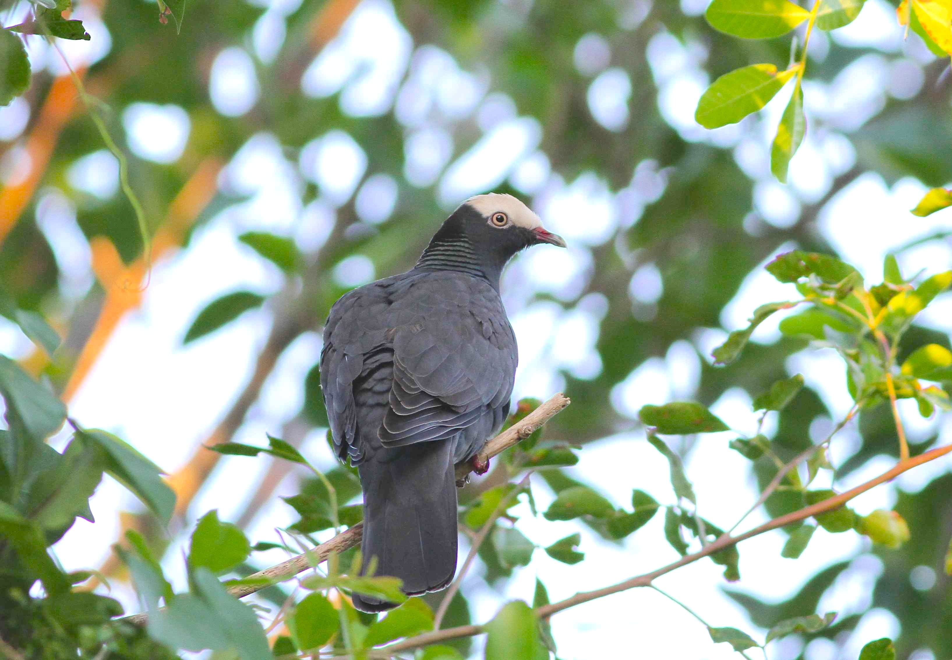 White crowned pigeon - photo#28