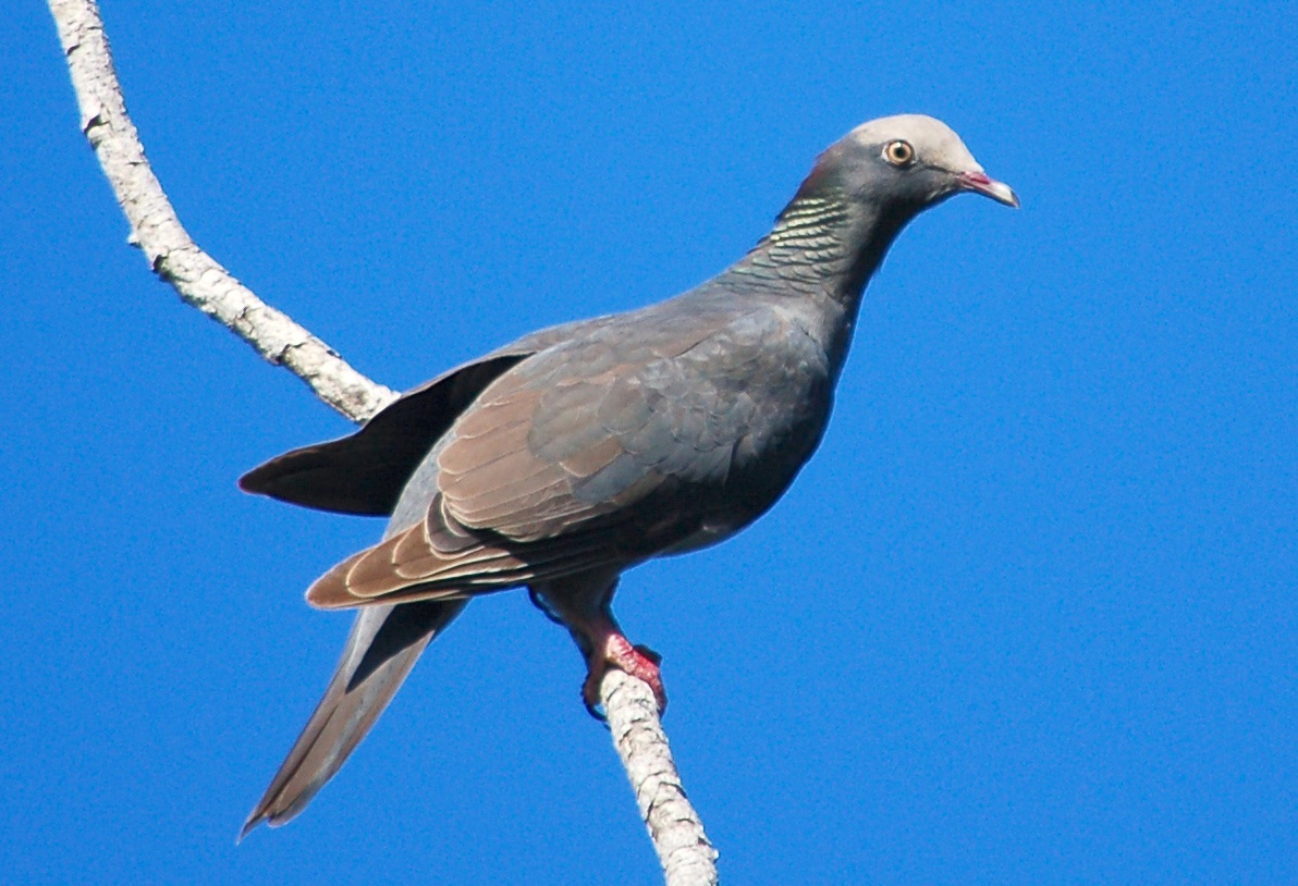 White crowned pigeon - photo#7