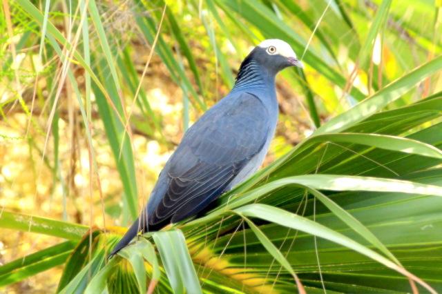 White-crowned Pigeon, Abaco, Bahamas (Tony Hepburn)