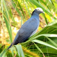 """FAIR GAME"" ON ABACO: THE ATTRACTIVE BUT SADLY DELICIOUS WHITE-CROWNED PIGEON"