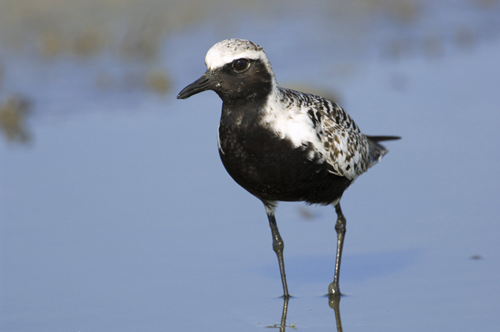 Black- Bellied Plover (Audubon Magazine)