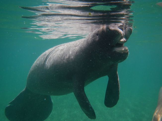 Randy the Manatee, Little Harbour, Abaco (BMMRO)