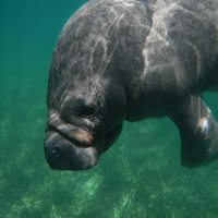 RANDY: LOOKING FOR MANATEE LOVE IN ABACO?