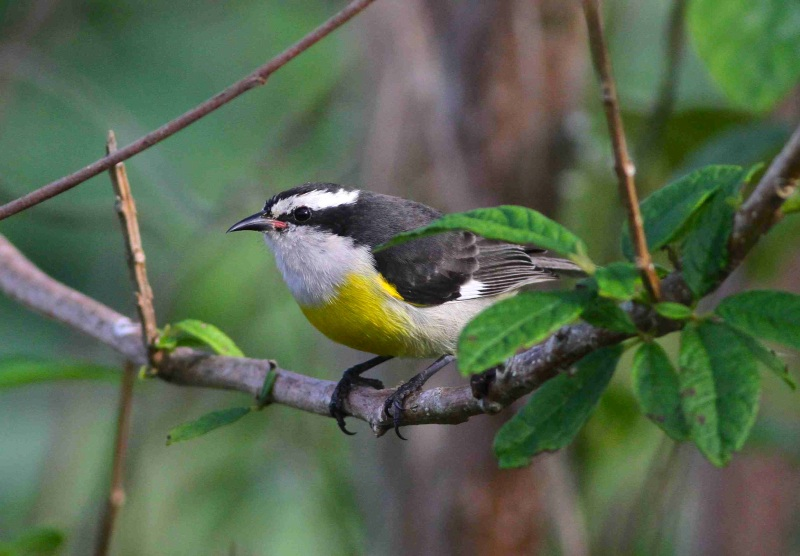 Bananaquit, Bahamas, Great Abaco - Gerlinde Taurer