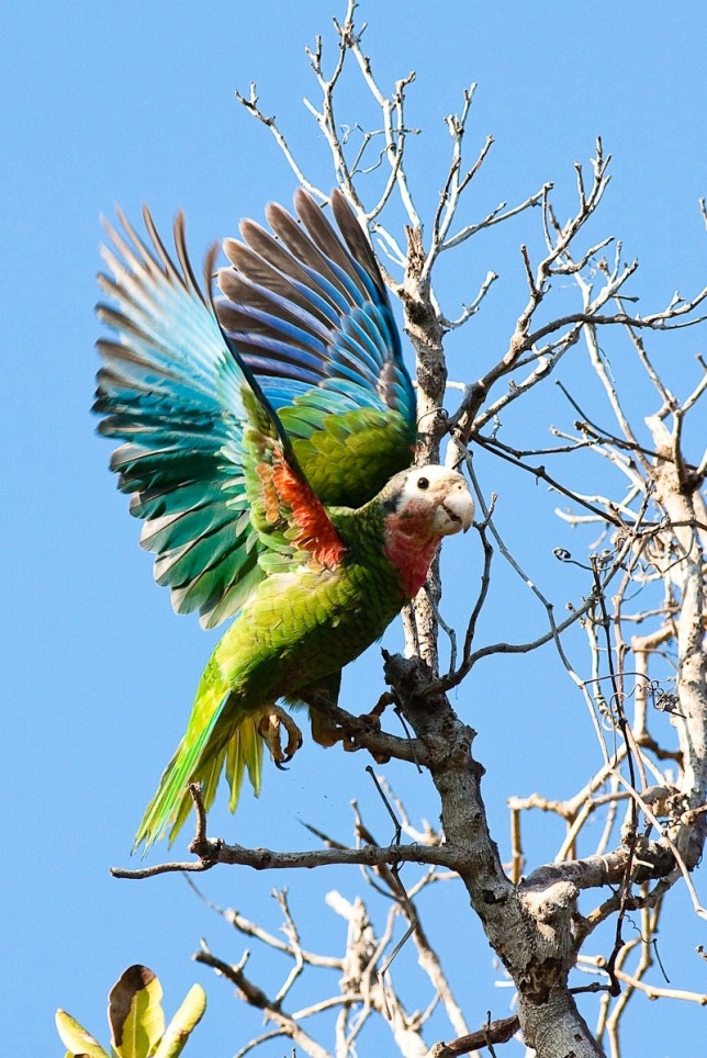 Abaco Parrot Craig Nash.Cuban Parrot Abaco