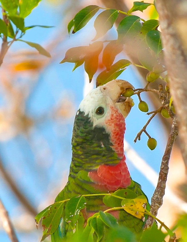 Abaco Parrot eating Gumbo Limbo fruit. Abaco Bahamas 2.12 copy