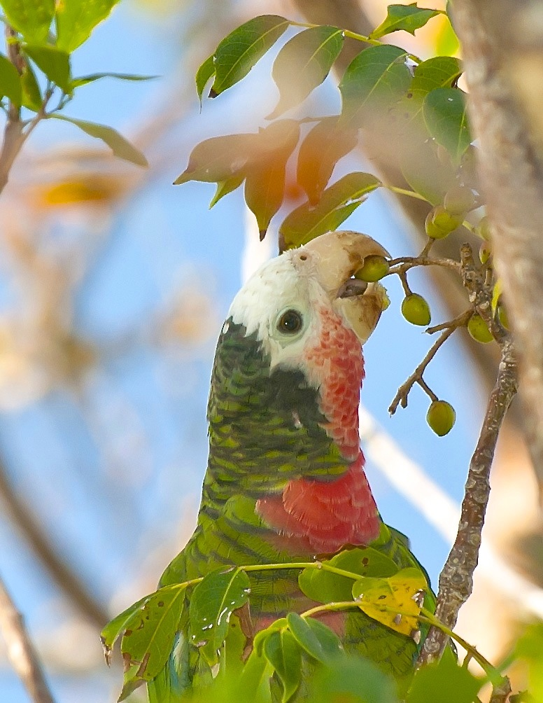 Abaco Parrot eating Gumbo Limbo fruit. Abaco Bahamas (Tom Sheley)