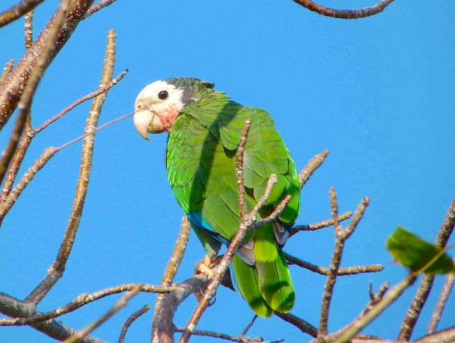 Abaco Parrot Keith Salvesen.Rolling Harbour Abaco