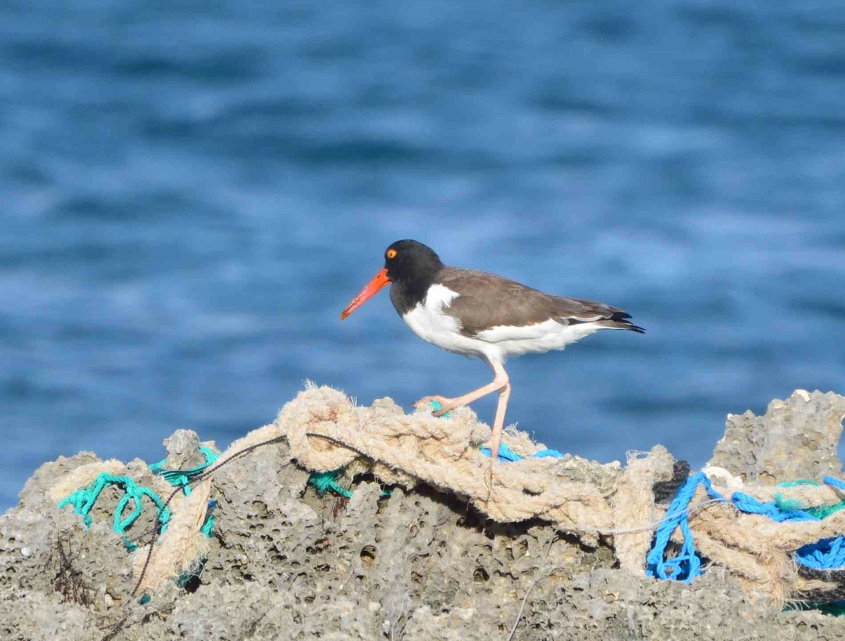 American Oystercatcher, Abaco (Charlie Skinner)