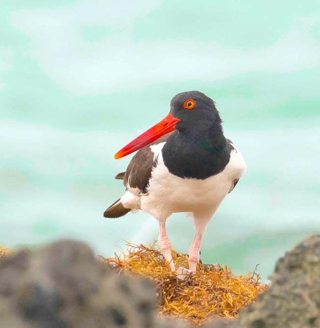 American Oystercatcher.Delphi Club.Abaco Bahamas.Tom Sheley