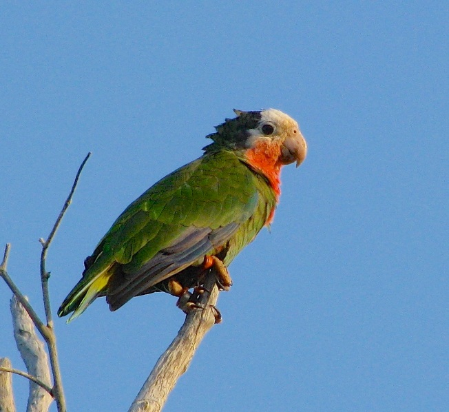 ABACO (CUBAN) PARROT