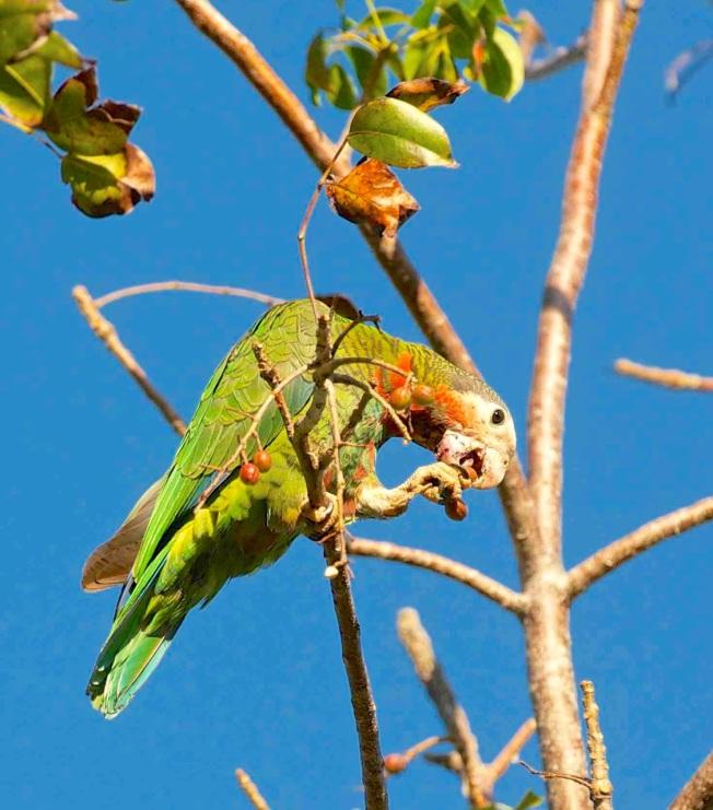 Bahama Parrot 1-Nina Henry sm
