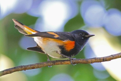 Bahamas-Great Abaco_6334_American Redstart_Gerlinde Taurer copy