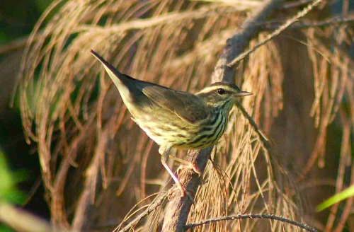 BAHAMAS - Northern Waterthrush - Oct 2010 Becky Marvil
