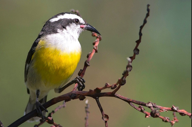 Bananaquit, Abaco - Tom Reed