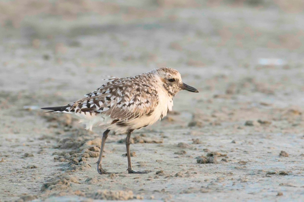 Black-bellied Plover intermediate plumage. Marls. Abaco Bahamas. Tom Sheley