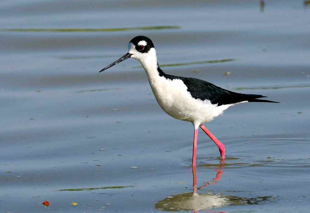 Black-necked Stilt, Abaco - Tom Sheley