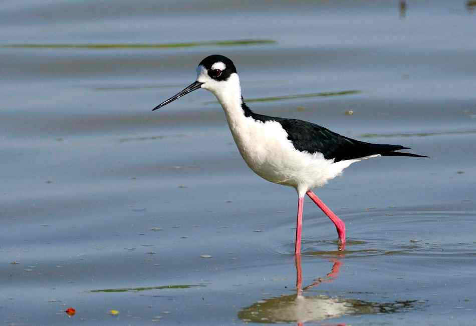 Black-necked Stilt, Abaco (Tom Sheley)