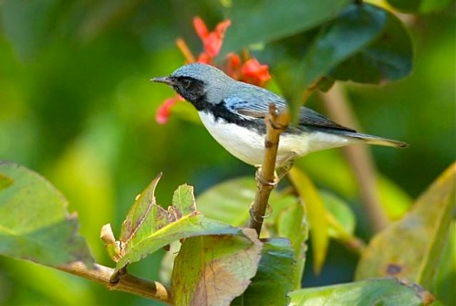 Black-throated Blue Warbler (m), Abaco - Bruce Hallett