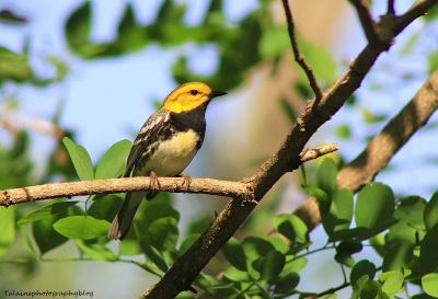 Black-throated Green Warbler - talainsphotographyblog