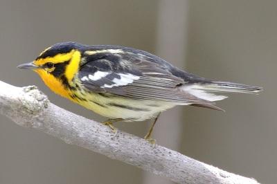 Blackburnian Warbler Mdf wiki