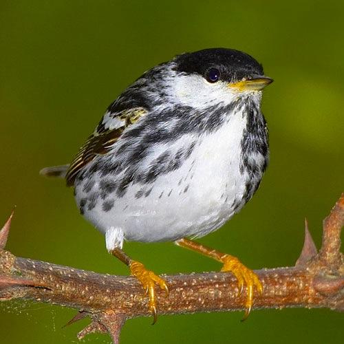 Blackpoll Warbler avibirds.com