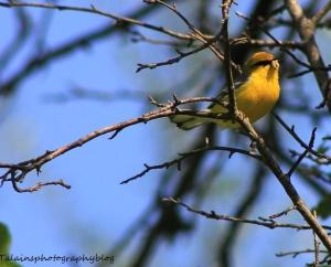 Blue-winged Warbler. talainsphotographyblog