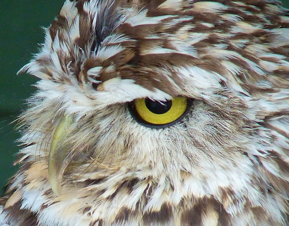 Burrowing Owl 1a