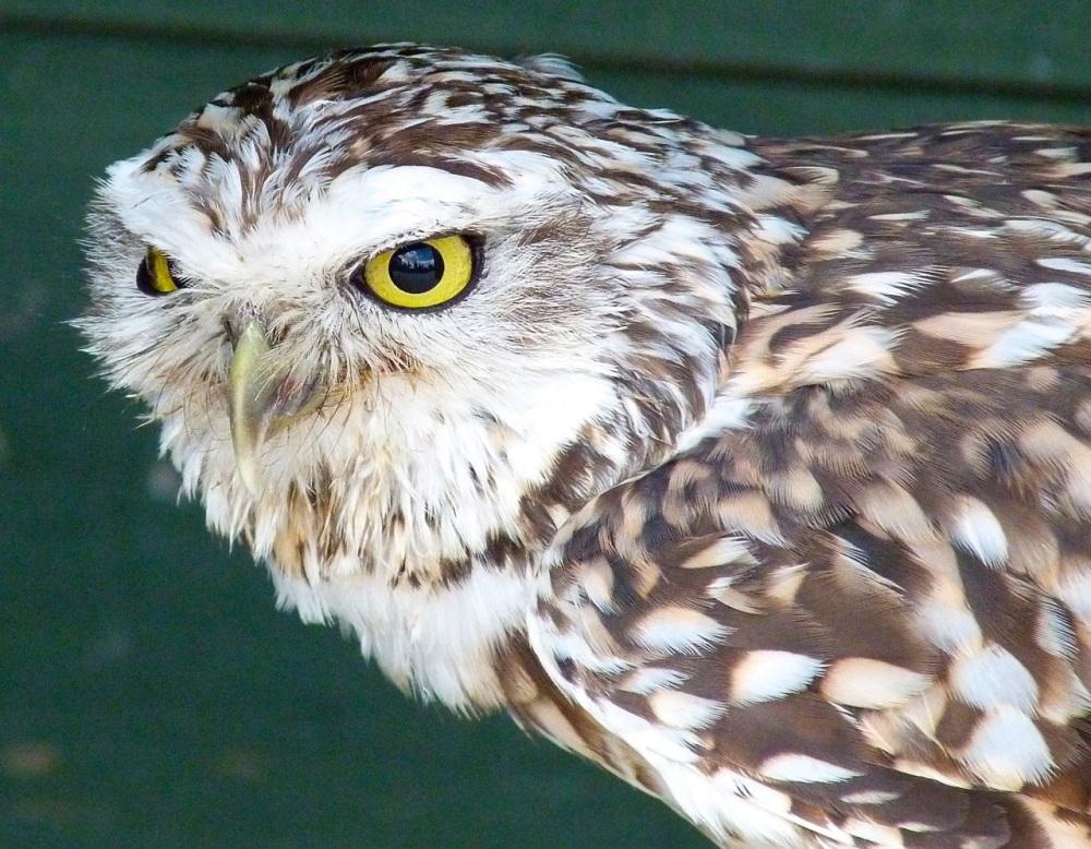 Burrowing Owl 5
