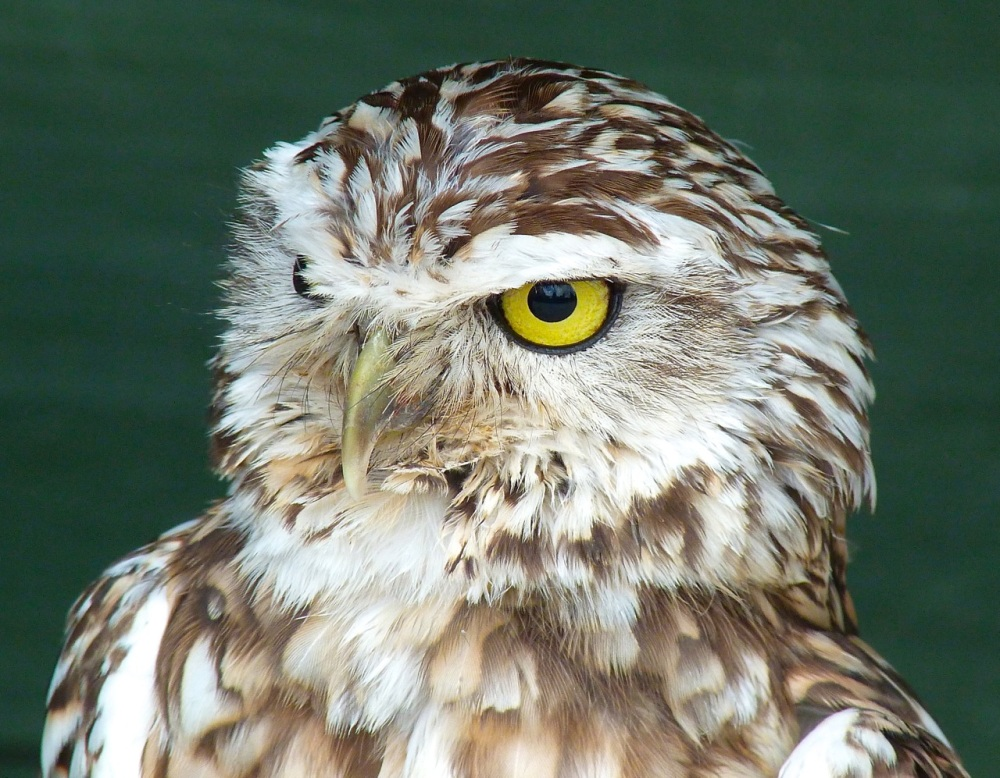 Burrowing Owl 6