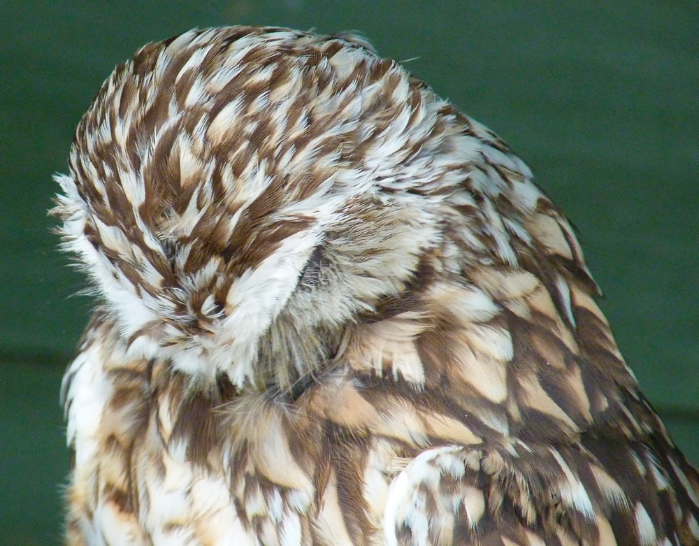 Burrowing Owl 8