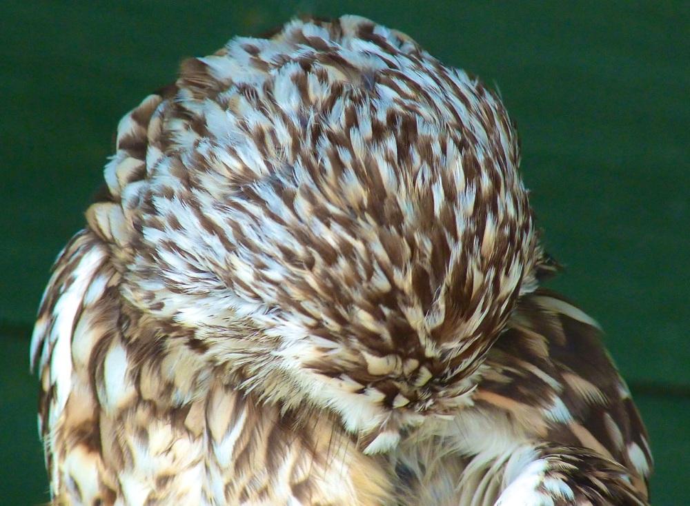 Burrowing Owl 9