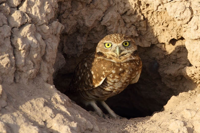 Burrowing Owl Alan Vernon Wikimedia