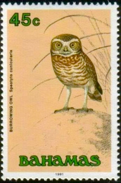 Burrowing Owl - Bahamas - Animal Vista